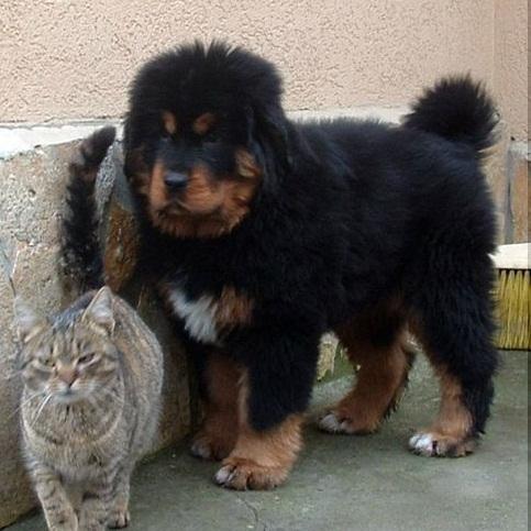Tibetan mastiff puppies (do-khyi) for sale from europe