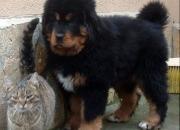 Tibetan mastiff puppies (do-khyi) for sale from Europe.....